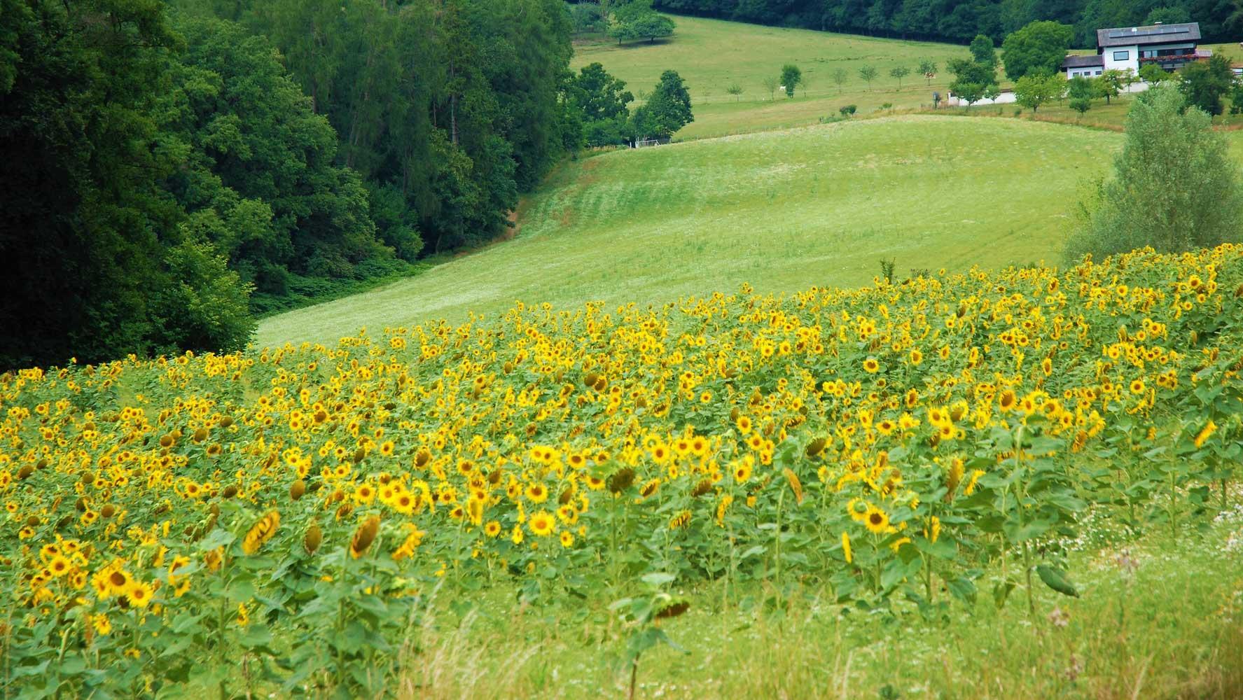 Sonnenblumen beim Studentenheim